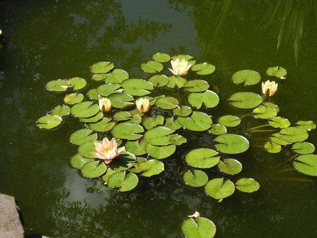 fish pond lilies